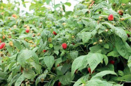 Для чего нужен фитомониторинг при выращивании ягод?