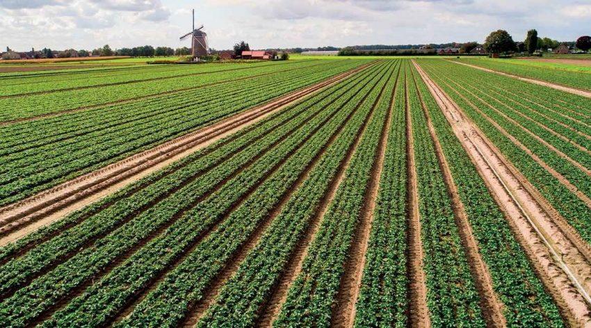 Розсадник De Kemp – високі стандарти якості: виробництво садивного матеріалу суниці садової та спаржі