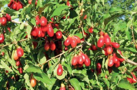 Кизил – культура для органического садоводства