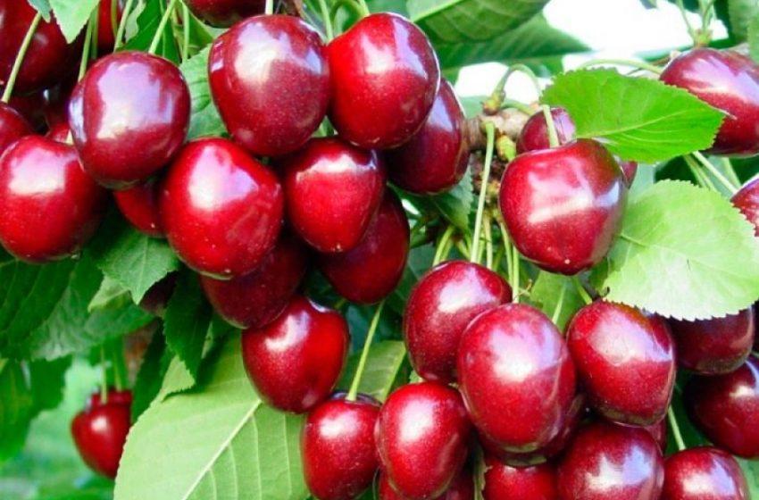 Одну четверту усього черешневого врожаю України вирощено в Запорізькій області