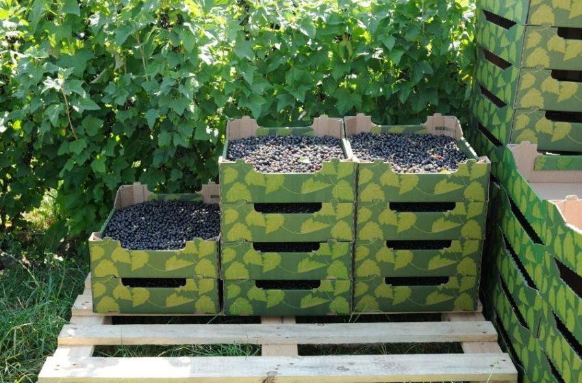 Як вирощують ягоди та саджанці у приватному підприємстві «Агроспецгосп»