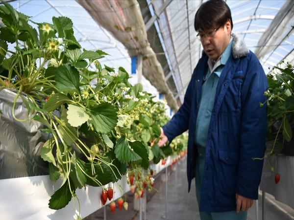 Як у Японії на фермі збирають полуницю та роблять морозиво