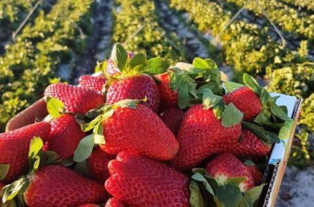 Іспанські виробники ягід починають відмовлятися від збору  врожаю суниці